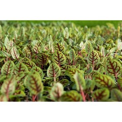 My favorite. Red Ribbon Sorrel. What's your favorite #TheChefsGarden ingredient?