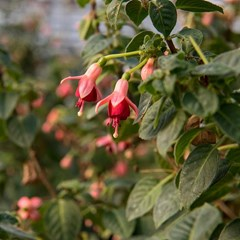 Do you love Fuchsia - yes or no?  #Chefs how would you use when creating a dish?  #InSeasonNow #sustainableagriculture #edibleflower