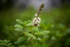 Basils are beginning to bloom #InSeasonNow