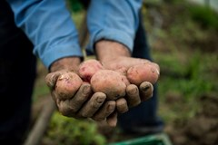 We harvested potatoes today. We'll be given em a good cure - stay tuned.  __ #sustainablefarming #sustainableagriculture #potatoes #handharvested  #TheChefsGarden #thisisfarming