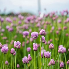 Chive blooms are a springtime delicacy - around only for a limited time. Head to my story for info