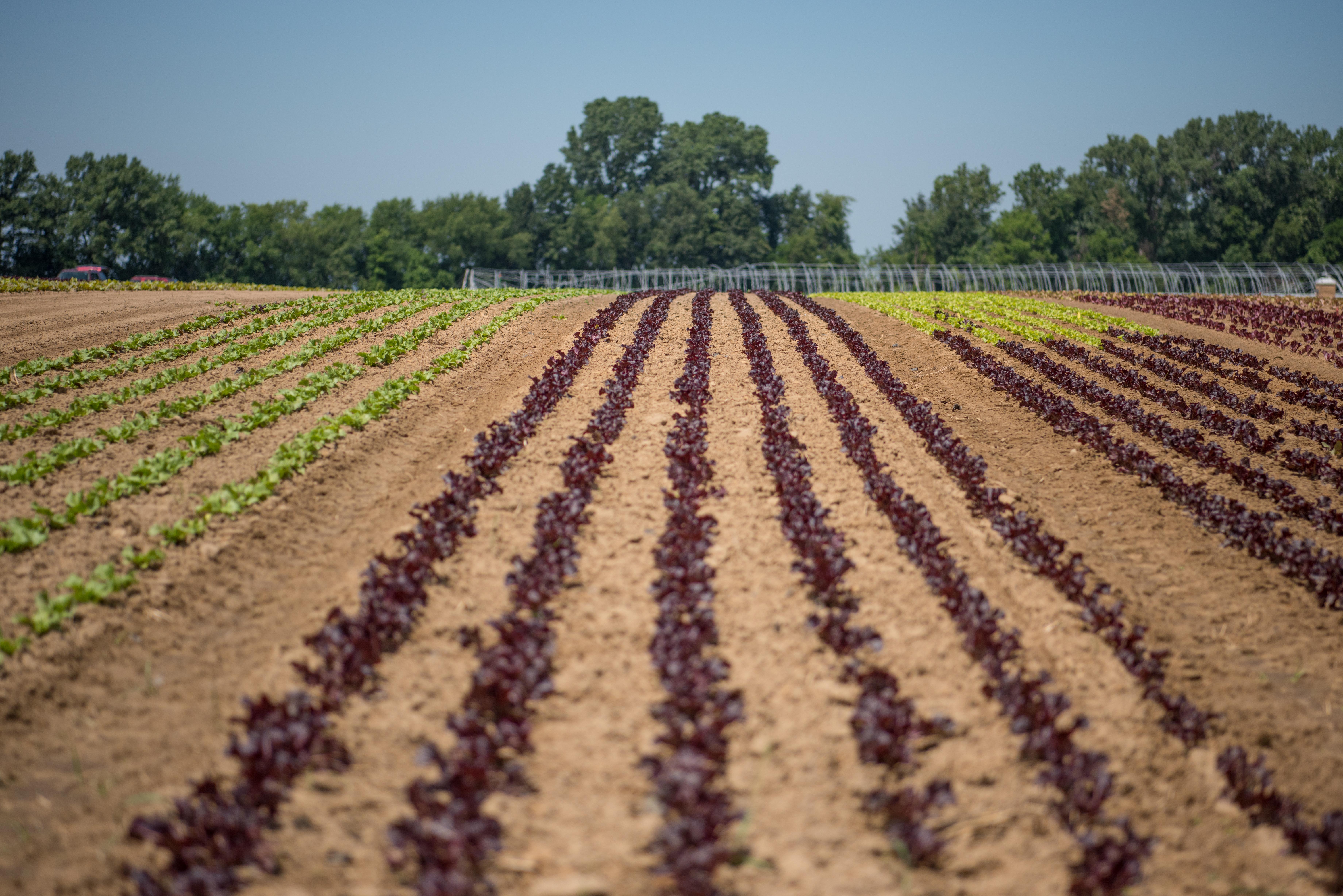 No place like home: breathtaking fields of farm-fresh lettuce   The ...