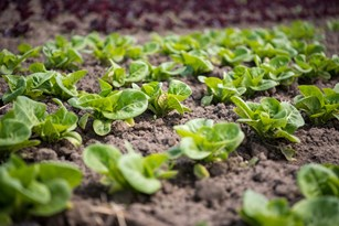 There's No Place Like Home in Jose Gomez's Fields of Farm-Fresh Lettuce Thumbnail