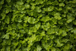 Miracles of Microgreens: Benefits and Much More Thumbnail