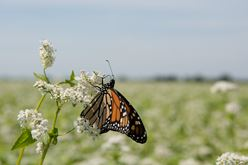 Buckwheat Flowers are a Pit Stop for Monarchs: Will Work for Nectar Image