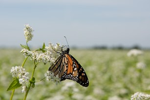 Buckwheat Flowers are a Pit Stop for Monarchs: Will Work for Nectar Thumbnail