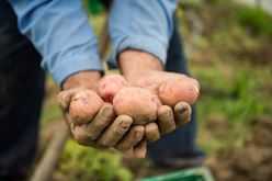 Harvesting potatoes: our new potatoes are flavored with excellence Image