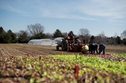 From Planting to Harvesting Lettuce: A Farmer's Story Image