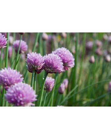Chive Blooms Growing