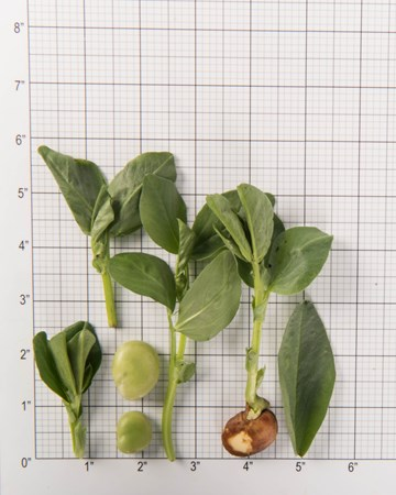 Fava Size Grid