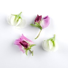 Mixed Pea Blossoms