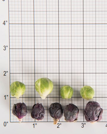 petite-brussels-sprouts-size-grid