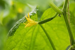 A Cuke with Bloom Epiphany Image