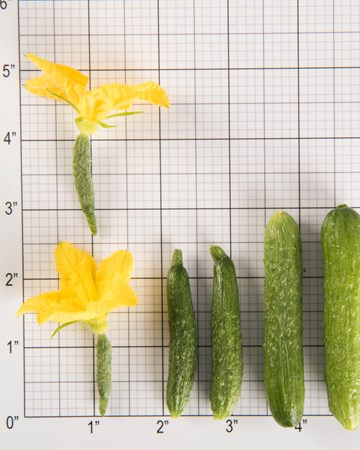 Cucumbers-Size Grid