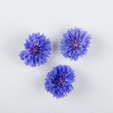 Blue Bachelor Buttons