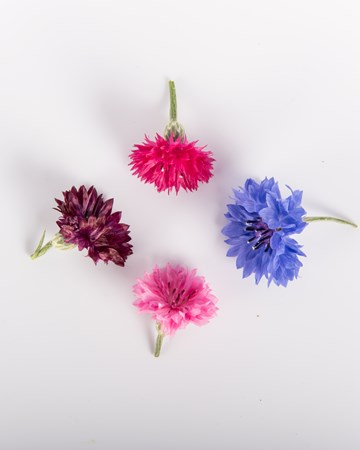 Edible Flower-Bachelor Buttons-Isolated