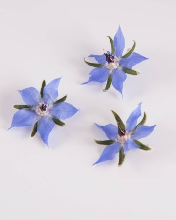 Edible Flower-Borage-Blue-Isolated