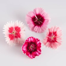 Mixed Frilled Dianthus