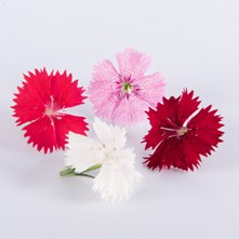 Mixed Dianthus