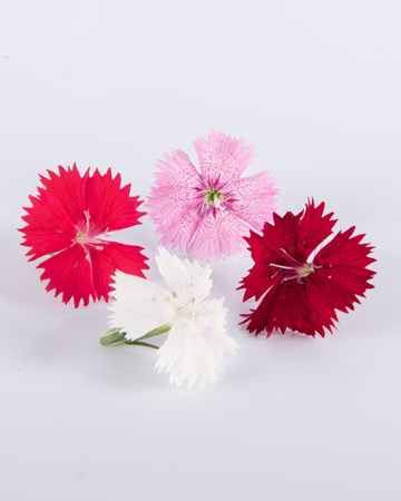 Edible Flower-Dianthus-Mixed-isolated
