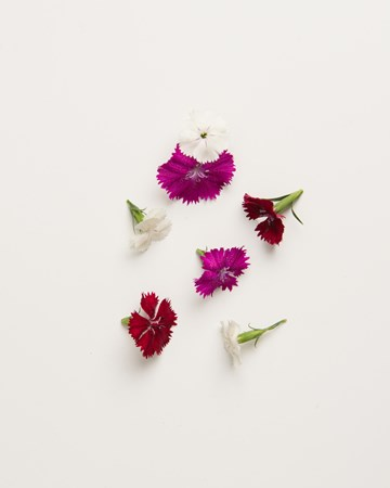 Flowers-Dianthus-Isolated