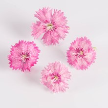 Piccadilly Circus Dianthus