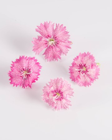 Edible Flower-Piccadilly Dianthus-Isolated