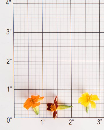 Edible Flowers-Mixed Citrus Marigolds-Size Grid