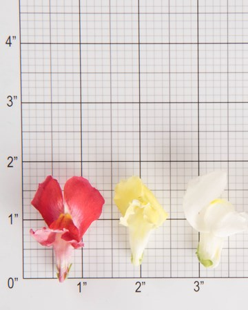 Edible Flowers-Snapdragon-Mix-Size Grid