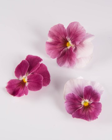 Edible Flowers-Pansy-Pink Lemonade-Isolated