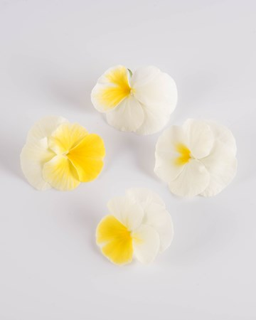 Edible Flower-Viola-Banana-Cream-Isolated