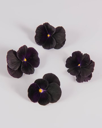 Edible Flower-Blackberry-Sorbet Viola-Isolated