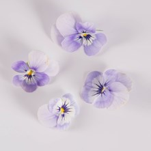 Blueberry Ice Viola
