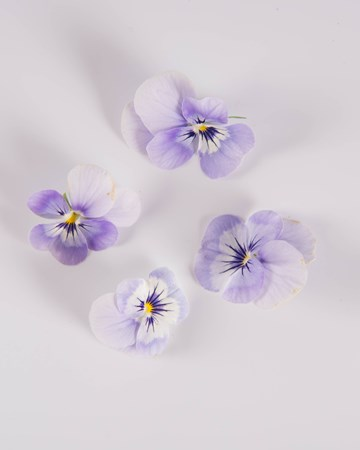 Edible Flower-Viola-Blueberry-Ice-Isolated