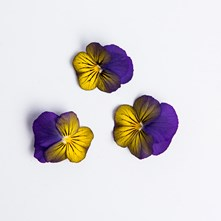 Blueberry Lemon Sorbet Viola