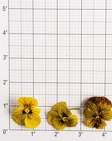 Passion Fruit Viola Size Grid