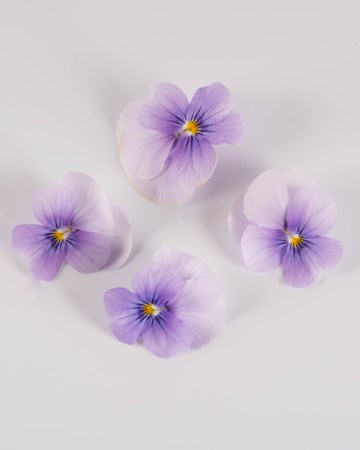 Edible-Flower-Viola-Plum Ice-Isolated