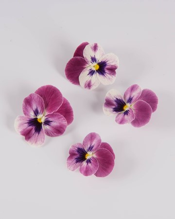 Edible-Flower-Viola-Red Raspberry Sorbet-Isolated