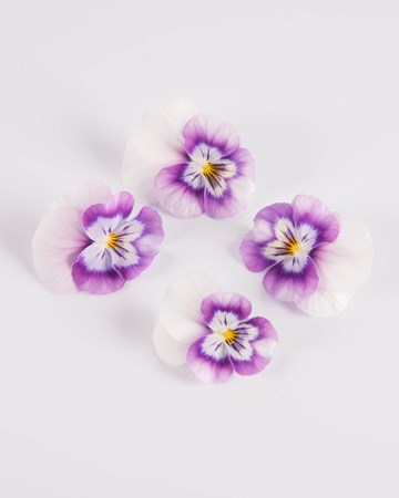 Edible-Flower-Viola-Red Raspberry Swirl-Isolated