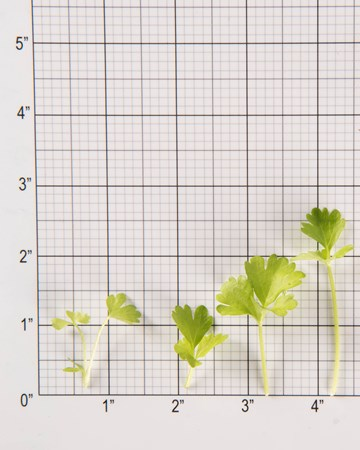 Celery Cutting-GH Petite-Size Grid