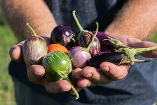 Fascinating History of Eggplant in the United States Thumbnail