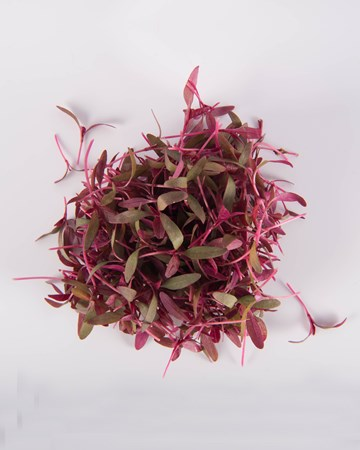 microgreen-burgundy-amaranth-isolated