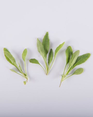 Greens-Arugula-Olive Leaf-Isolated