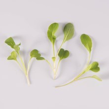 Traditional Arugula
