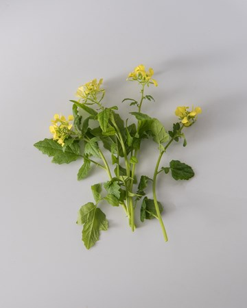 Mustard Cress Bloom