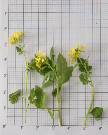Mustard Cress Bloom Size Grid