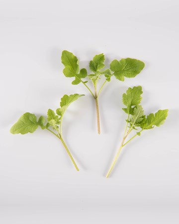 Mustard-Cress-Microgreen-NG Petite-Isolated