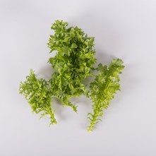 Ruffled Green Mustard