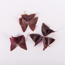 Amethyst Sorrel Leaves