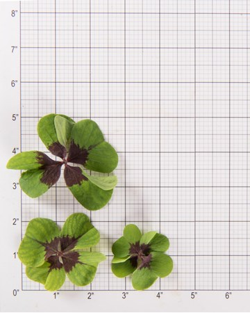 Sorrel-Lucky-Clover-Size-Grid